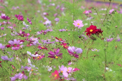 滝野すずらん丘陵公園で「コスモス」を観てきました。_f0362073_06333770.jpg