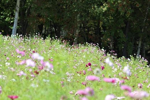 滝野すずらん丘陵公園で「コスモス」を観てきました。_f0362073_06373061.jpg