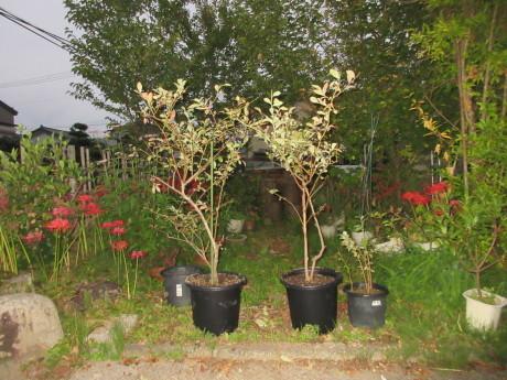 ブルーベリー植え替え・紫蘇の実をもぐ など_a0203003_18123782.jpg