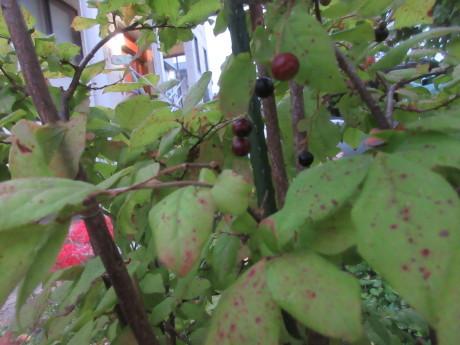 ブルーベリー植え替え・紫蘇の実をもぐ など_a0203003_18125977.jpg