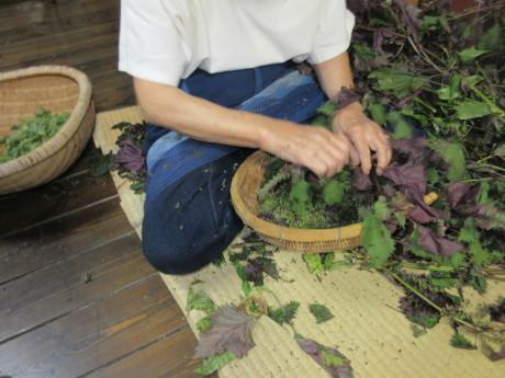 ブルーベリー植え替え・紫蘇の実をもぐ など_a0203003_18200341.jpg