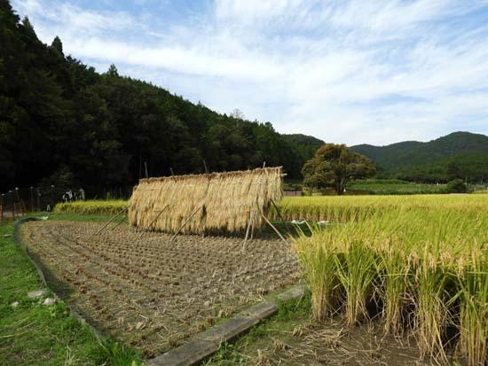 菜園の秋と田圃の稲木_e0048413_19570862.jpg