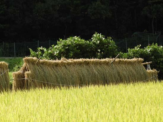菜園の秋と田圃の稲木_e0048413_20015565.jpg