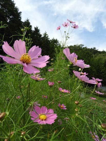 菜園の秋と田圃の稲木_e0048413_20024310.jpg