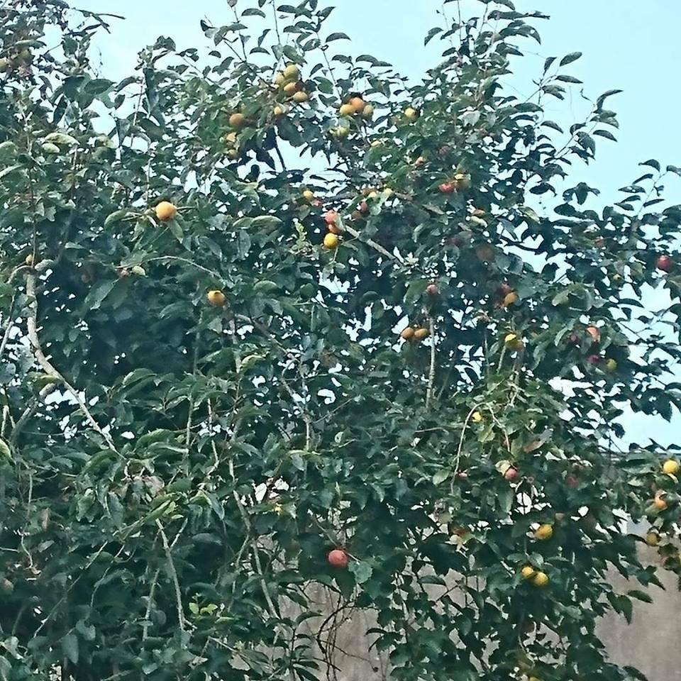 柿狩りと、秋の畑。_a0125419_06224762.jpg
