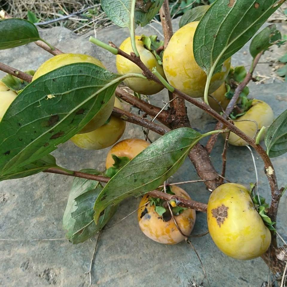 柿狩りと、秋の畑。_a0125419_06233175.jpg