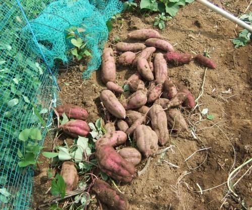 焼き芋の季節到来_b0137932_18511891.jpg