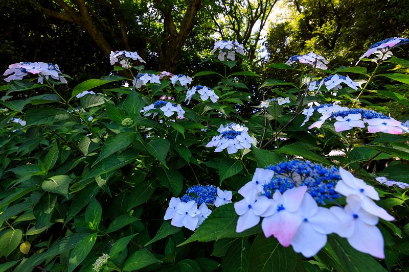 智積院・紫陽花の頃_f0155048_20525694.jpg