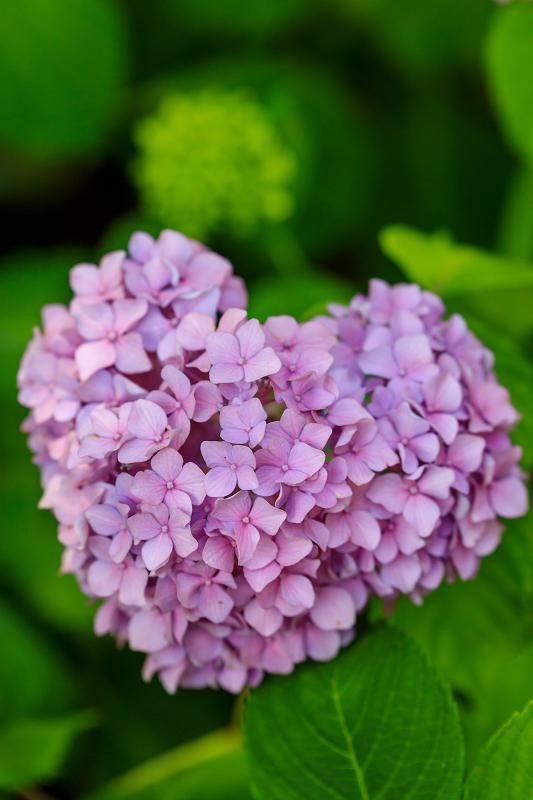 智積院・紫陽花の頃_f0155048_20533550.jpg