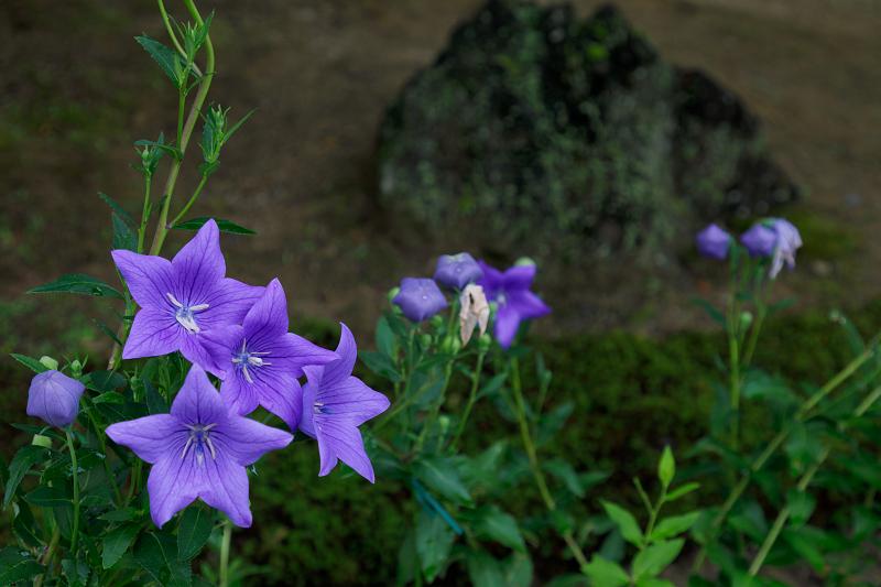 智積院・紫陽花の頃_f0155048_20545613.jpg