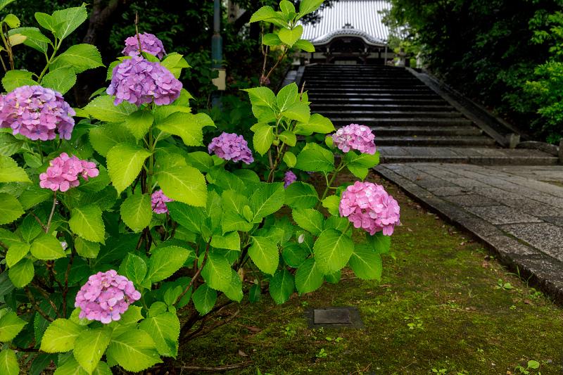 智積院・紫陽花の頃_f0155048_20552194.jpg