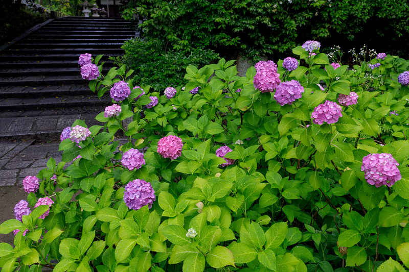 智積院・紫陽花の頃_f0155048_20552811.jpg