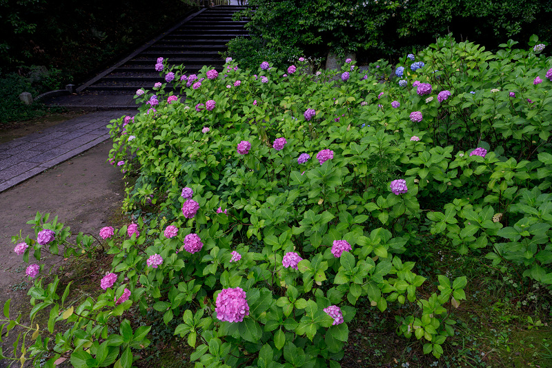 智積院・紫陽花の頃_f0155048_20553988.jpg