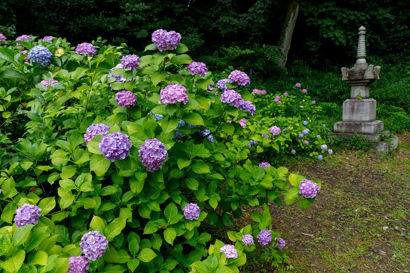 智積院・紫陽花の頃_f0155048_20554581.jpg