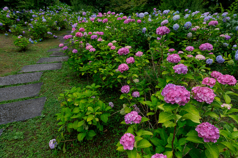 智積院・紫陽花の頃_f0155048_20562463.jpg