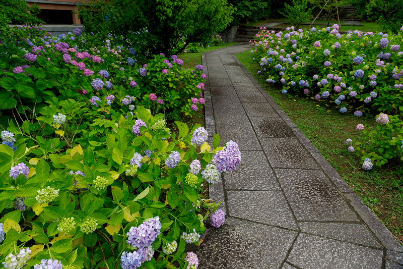 智積院・紫陽花の頃_f0155048_20574570.jpg