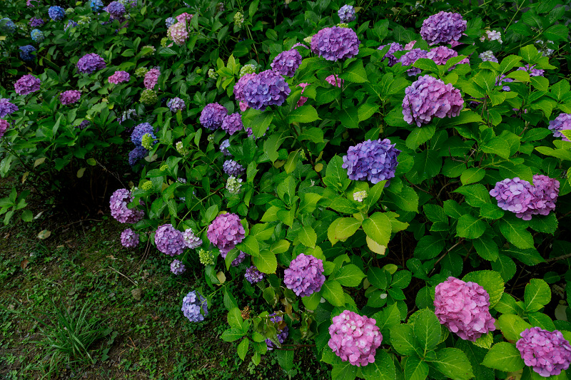 智積院・紫陽花の頃_f0155048_20585878.jpg