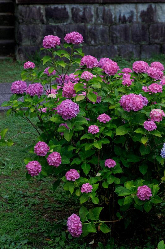 智積院・紫陽花の頃_f0155048_20591658.jpg