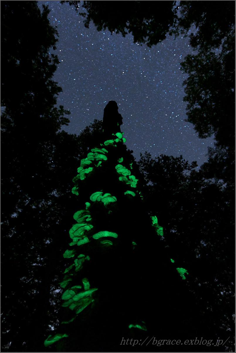 ツキヨタケ 山形の森_b0191074_22362975.jpg