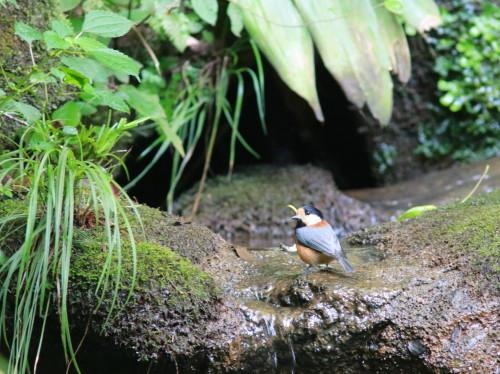 ヤマガラ+シジュウカラ『滝』   ITR_d0346713_18251390.jpg