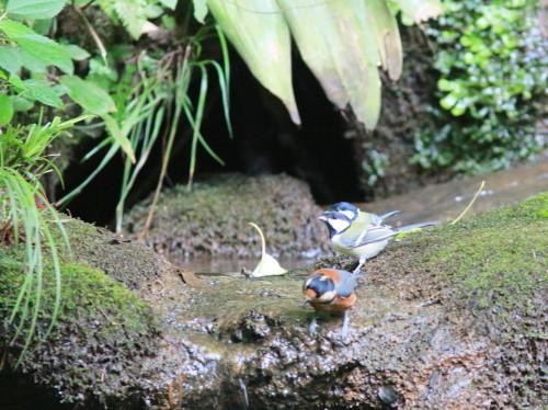 ヤマガラ+シジュウカラ『滝』   ITR_d0346713_18252512.jpg