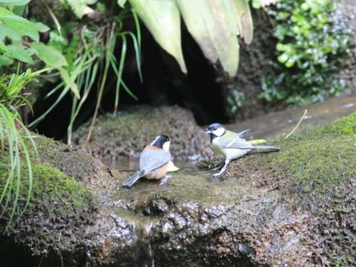 ヤマガラ+シジュウカラ『滝』   ITR_d0346713_18253471.jpg