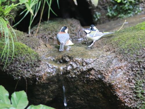 ヤマガラ+シジュウカラ『滝』   ITR_d0346713_18254049.jpg