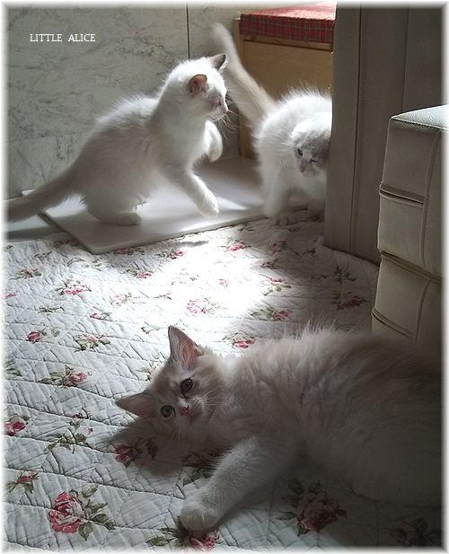 ☆ラグド-ルの仔猫*うららもね。_c0080132_13245111.jpg