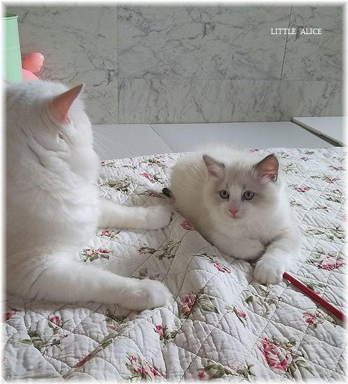 ☆ラグド-ルの仔猫*うららもね。_c0080132_13270066.jpg