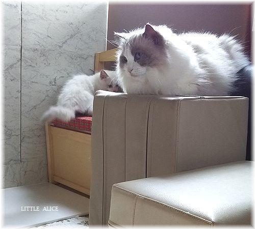 ☆ラグド-ルの仔猫*うららもね。_c0080132_13301706.jpg
