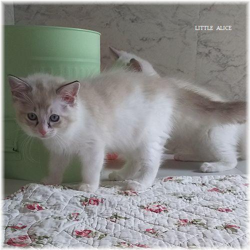 ☆ラグド-ルの仔猫*うららもね。_c0080132_13311441.jpg