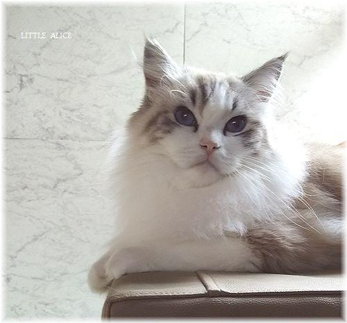 ☆ラグド-ルの仔猫*うららもね。_c0080132_13330120.jpg