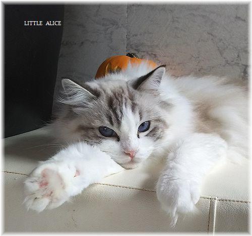 ☆ラグド-ルの仔猫*うららもね。_c0080132_13355246.jpg