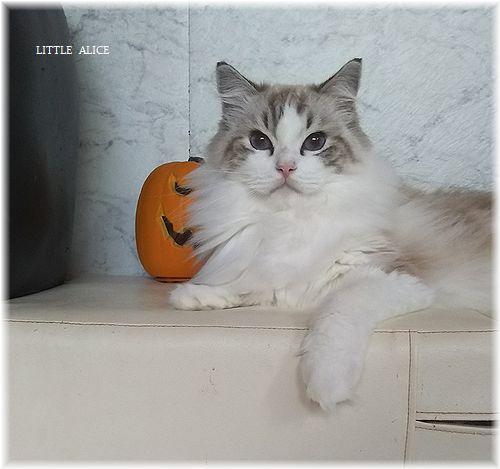 ☆ラグド-ルの仔猫*うららもね。_c0080132_13391072.jpg