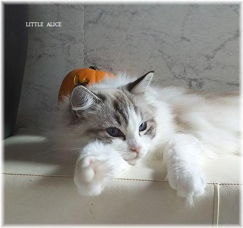 ☆ラグド-ルの仔猫*うららもね。_c0080132_13400306.jpg
