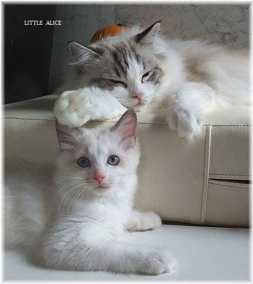 ☆ラグド-ルの仔猫*うららもね。_c0080132_13403546.jpg