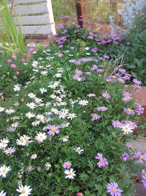 レンガ花壇&ベンチに咲く花は姫小菊とサルビア、ラベンダーはどうしても枯れてしまいます。_a0243064_11282363.jpg