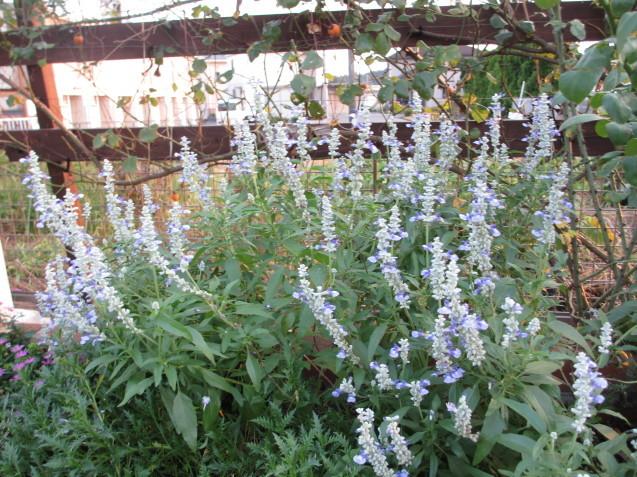 レンガ花壇&ベンチに咲く花は姫小菊とサルビア、ラベンダーはどうしても枯れてしまいます。_a0243064_11283587.jpg