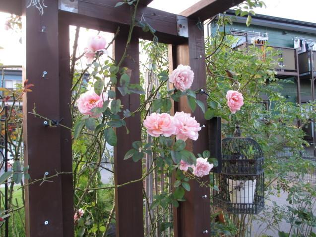 レンガ花壇&ベンチに咲く花は姫小菊とサルビア、ラベンダーはどうしても枯れてしまいます。_a0243064_11475213.jpg
