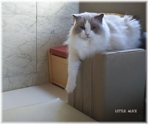☆ラグド-ルの仔猫*しっぽゆらゆら。_c0080132_11283719.jpg