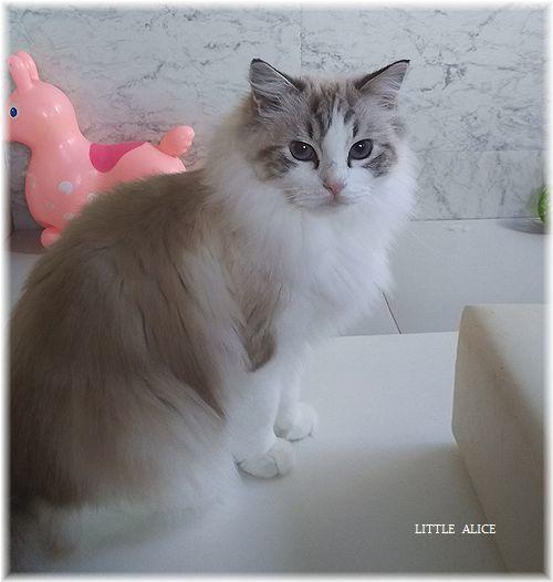 ☆ラグド-ルの仔猫*しっぽゆらゆら。_c0080132_11425317.jpg