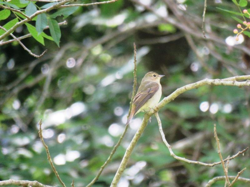 野鳥トレ94 アオゲラ、オオルリ、キビタキなど_b0227552_20114675.jpg