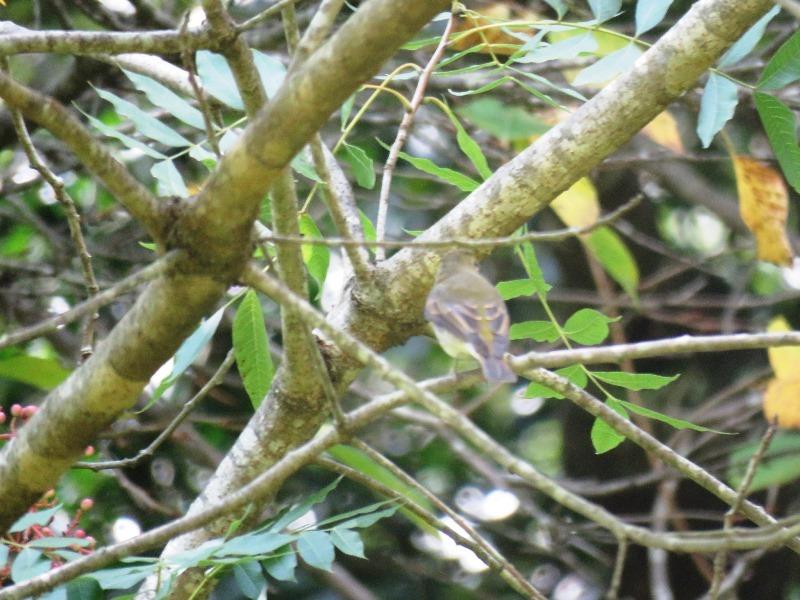 野鳥トレ94 アオゲラ、オオルリ、キビタキなど_b0227552_20115523.jpg