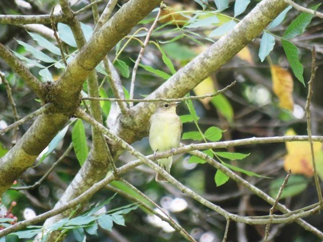 野鳥トレ94 アオゲラ、オオルリ、キビタキなど_b0227552_20120475.jpg