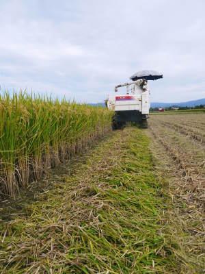 """砂田のこだわりれんげ米 順調に色づき始め頭を垂れてきています!今年は無農薬ではなく""""減農薬栽培""""です!_a0254656_20025383.jpg"""