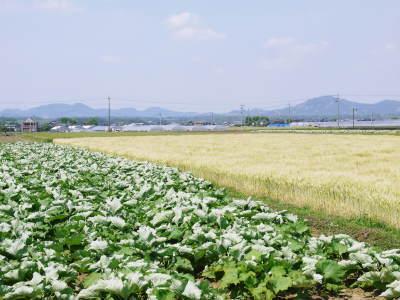 """砂田のこだわりれんげ米 順調に色づき始め頭を垂れてきています!今年は無農薬ではなく""""減農薬栽培""""です!_a0254656_20225116.jpg"""