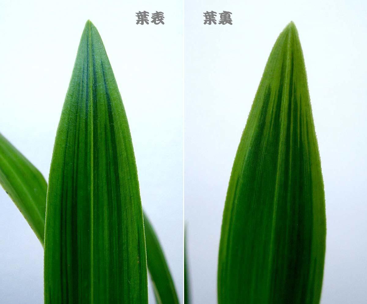蕙蘭の「雲井芸」                        No.1819_d0103457_00422503.jpg