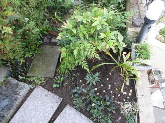 アプローチ上辺りをプチリフォーム、アシュガとギボウシを移植、ムスカリの球根を植えました_a0243064_19433950.jpg