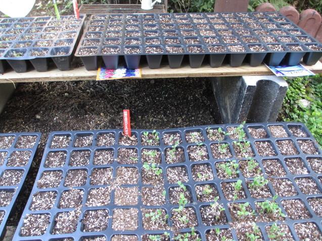 アプローチ上辺りをプチリフォーム、アシュガとギボウシを移植、ムスカリの球根を植えました_a0243064_19504432.jpg