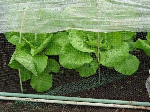 ニンニク発芽、春キャベツ種蒔き、大根のネット撤去9・25_c0014967_1172323.jpg